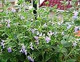 1 paquete 50 Semillas Semillas de hierba gatera Nepeta Cataria rara hierba D033, fácil crecer Perenial Bonsai hierba gatera, regalo para su gato