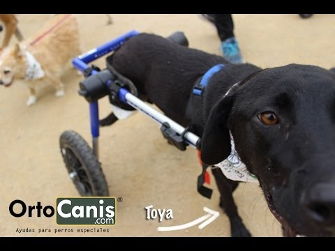 ¿Cómo poner una silla de ruedas a un perro?