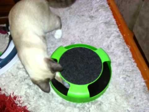 Ragdoll cat playing with Catch the Mouse toy