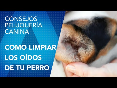 Como limpiar los oídos a tu perro de la manera correcta