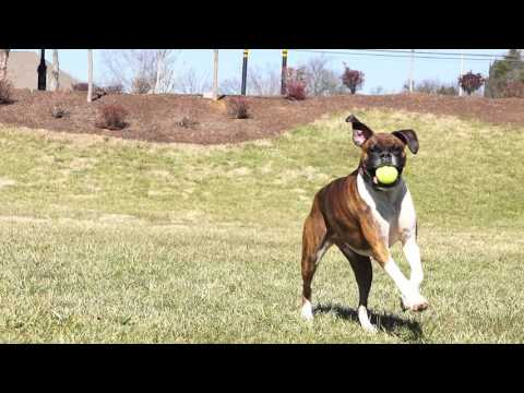If Your Dog Loves to Retrieve Balls – Try the PetSafe® Automatic Ball Launcher
