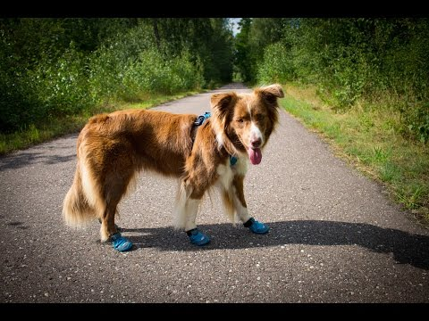 Fina wearing Ruffwear Grip Trex™ Boots for the first time