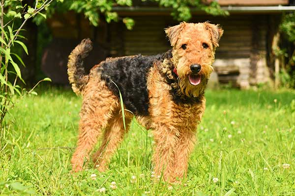 Airedale Terrier Canicross