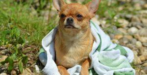 Albornoces y toallas para perros