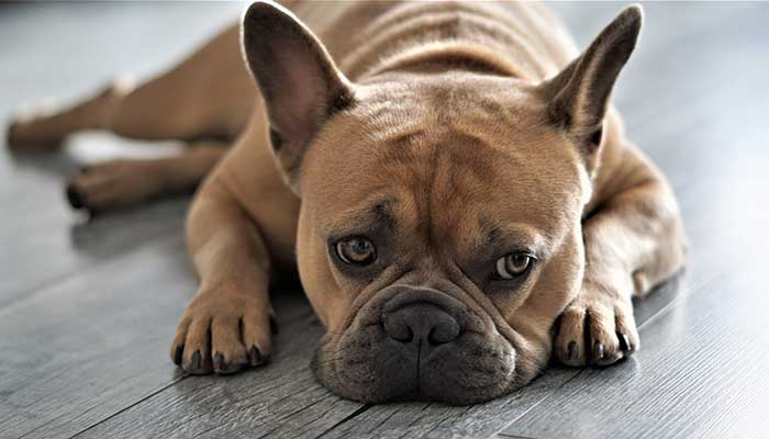 Bulldog no apto para canicross