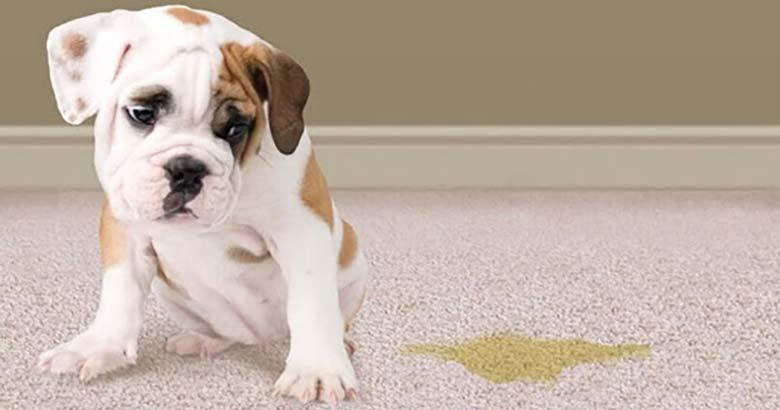 Cómo eliminar el olor a orina de perro del suelo