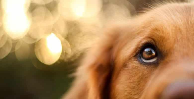 Cómo limpiar los ojos a un perro o gato