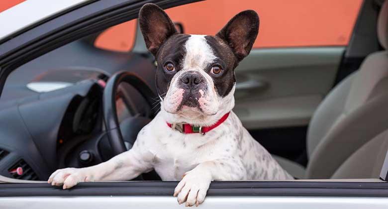 Cómo llevar al perro en coche