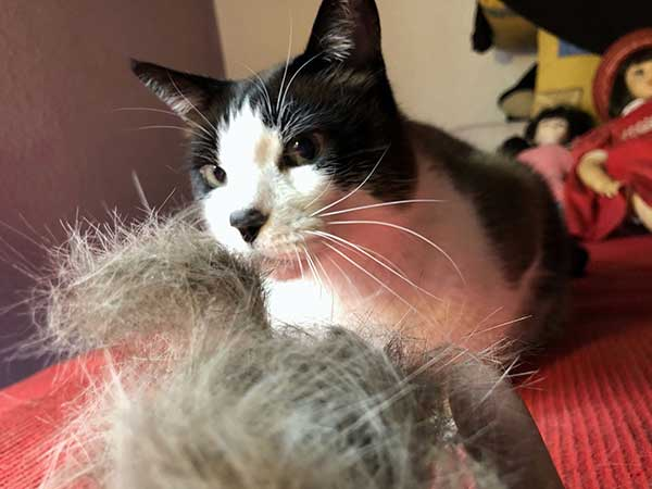 Cepillo FURminator - Pelos recogidos tras cepillar al gato Ronno
