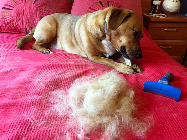 Cepillo FURminator - pelos recogidos tras cepillar al perro Rufus