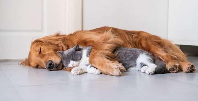 Feromonas para gatos y perros: Adaptil y Feliway