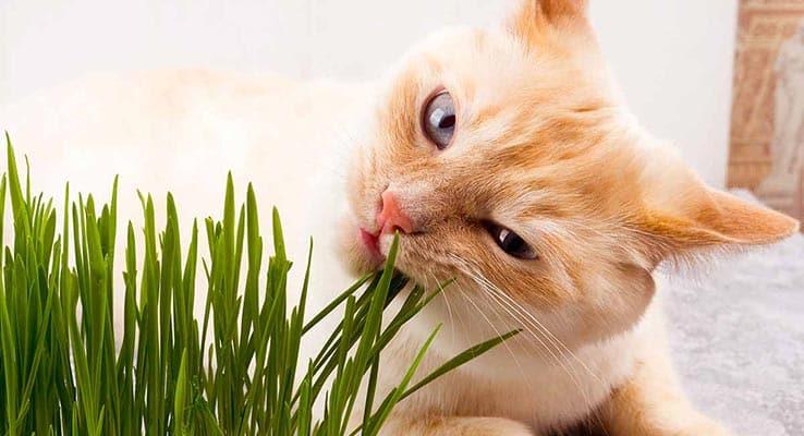 Gato mordisqueando catnip