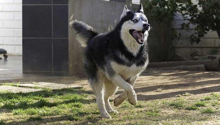 Husky Siberiano Canicross