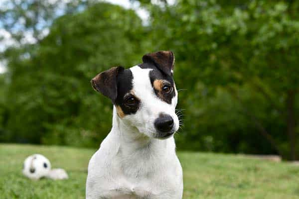 Jack Russell Terrier Agility