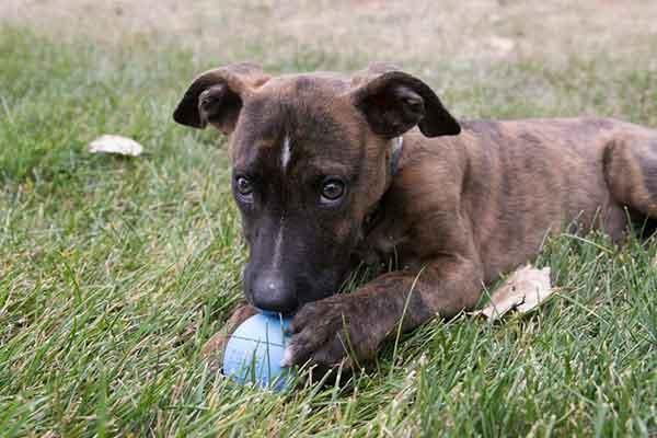 Kong Ball Puppy: pelota de juguete resistente para cachorros