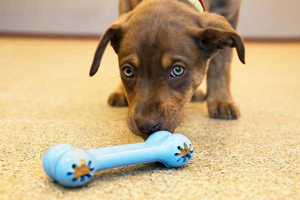 Kong Goodie Bone Puppy: hueso de juguete especial para cachorros