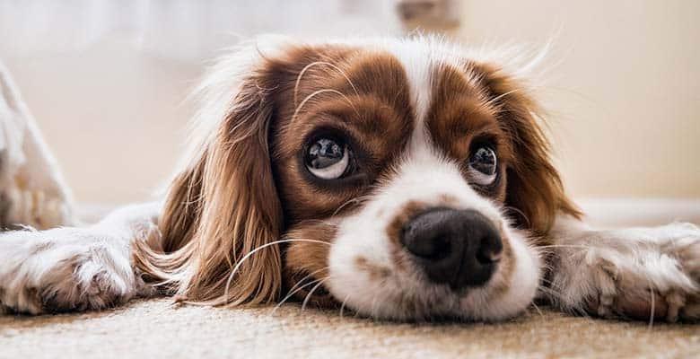 Limpiar ojos perro