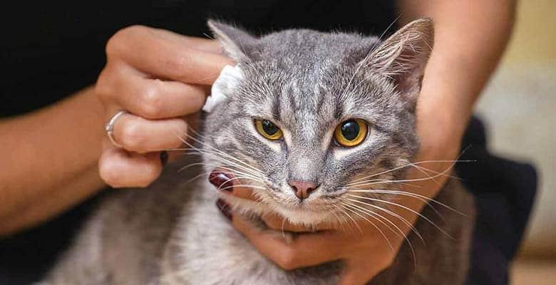 Limpieza orejas gato