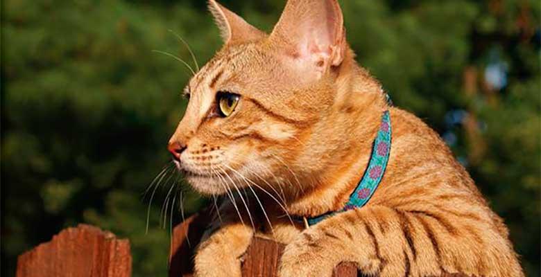 Collares para gatos: las mejores opciones