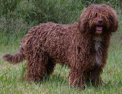 Perro de agua español Agility