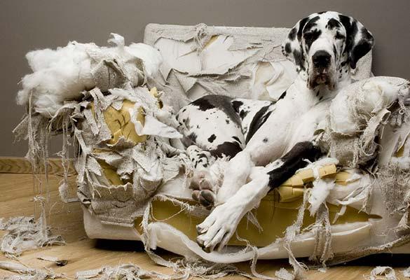 Perro destrozando hogar
