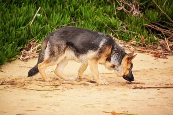 Perro olfateando el suelo