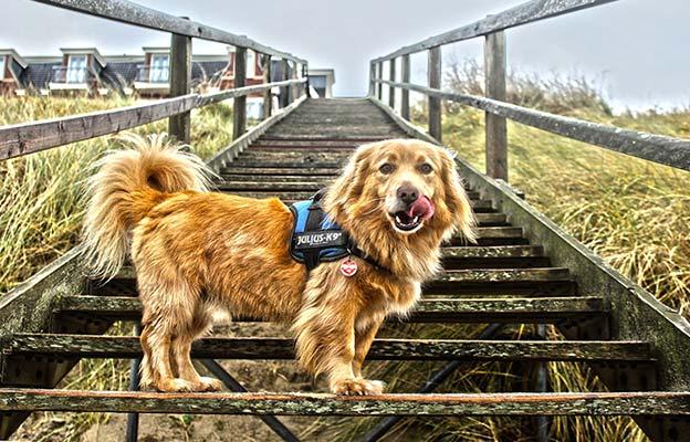 Perro subiendo escaleras